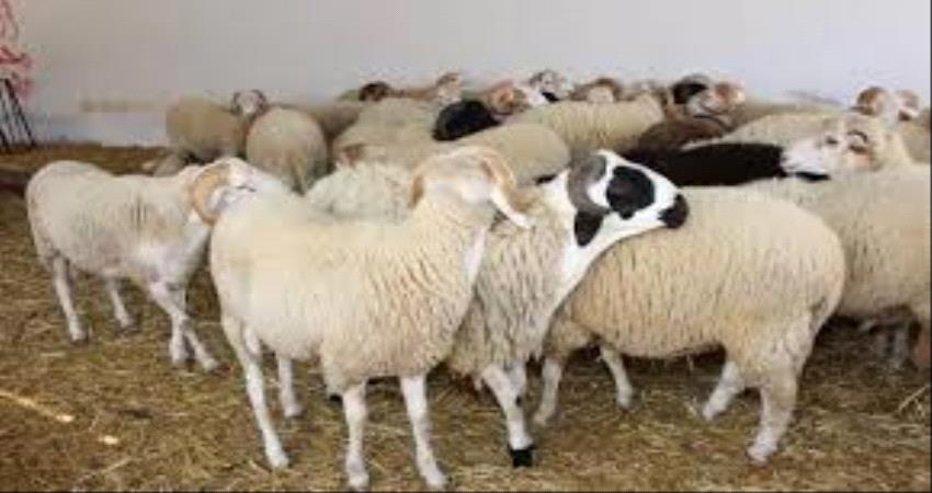تعرف على اسعار المواشي واللحوم اليوم في عدن